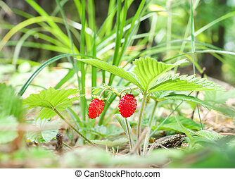 Wild strawberry berry growing in natural environment.