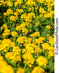 Yellow Tagetes Field Close Up