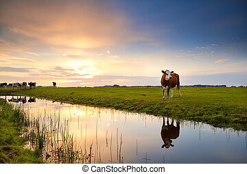 cow reflected in river at sunrise - cow on pasture reflected...