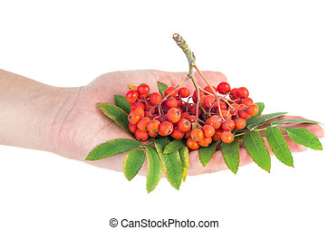Hand hold ashberry cluster - Ashberry cluster with red berry...
