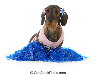 dog dressed like cheerleader - wirehaired dachshund female...