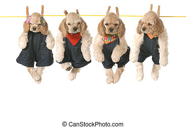 litter of puppies - four american cocker spaniel puppies...