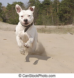 pitt bull - jumping pitt bull in the sand
