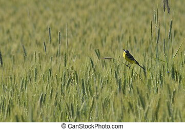 Yellow wagtail, field in Poland