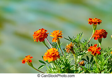 Orange Tagetes Flowers Close Up