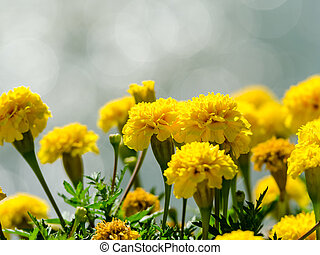 Yellow Tagetes Flowers Close Up