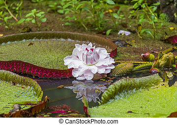 Victoria Amizonica Water Lily - Formally known as Victoria...