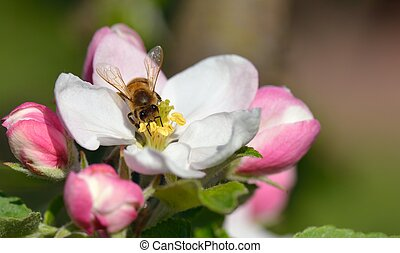 Bee in apple blossom - Busy Bee in an apple blossom