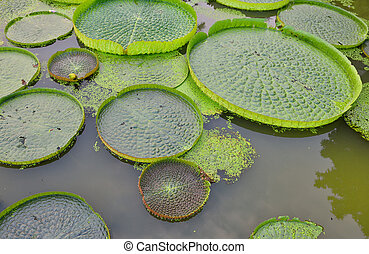 Huge floating lotus,Giant Amazon water lily,Victoria...
