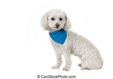 Bichon dog - Cute bichon dog isolated on a white background...