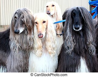 Four Afghan Hounds tied to a post.