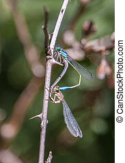 Damsel Flies  - Damsel flies Mating on branch