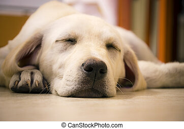 Sleeping Labrador - A young beautiful white labrador...