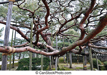 Tree - One of the oldest and biggest trees in Japan,...