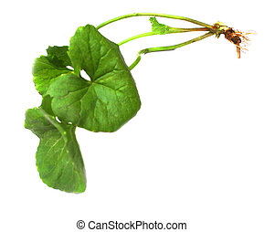 herbal thankuni leaves in white background
