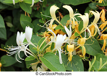 Lonicera - Honeysuckle - Closeup shot of Lonicera -...