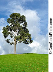 Eucalyptus tree and pasture in beautiful afternoon light,...