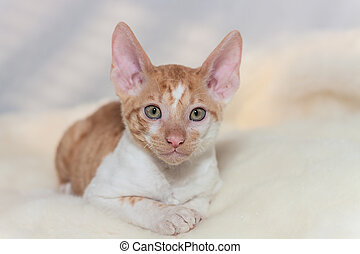 cute plush red kitten Cornish Rex