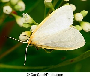 Dogbane Tiger Moth perched on a flower.