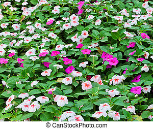 Catharanthus roseus or Madagascar periwinkle flower bed