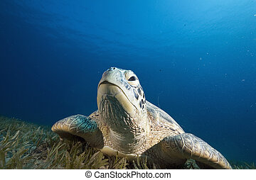female green turtle chelonia mydas