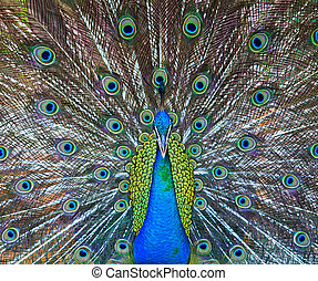 Close-up portrait of beautiful peacock
