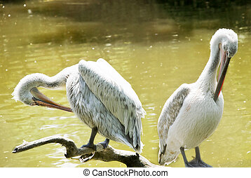 Pair of pelicans on a log in a lake on a sunny day.