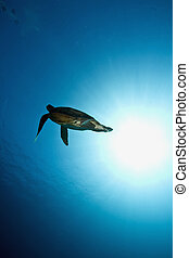 male green turtle (chelonia mydas)