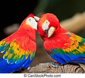 Macaw, Papagaio