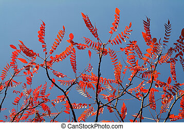 Red autumn leaves of a stag´s horn sumac tree against blue...