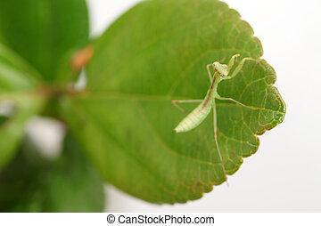 praying mantis larva - closeup of praying mantis larva on...
