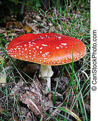 fly agaric, very shallow DoF