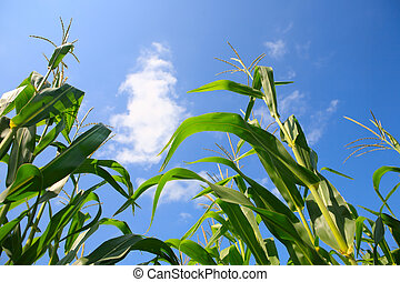 Growing Corn - Close-up of corn agains a blue sky
