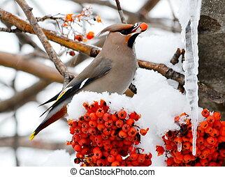 Sviristel on a mountain ash - Sviristel eats red berries in...