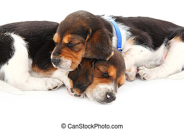 Beagle puppies sleeping - two beagle puppies sleep on a...