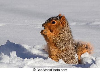 站立, 向上, 吃, 松鼠, 雪