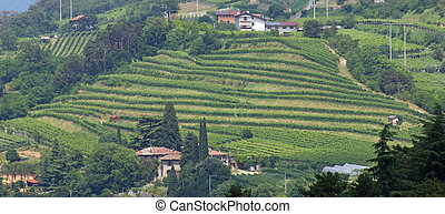 terracing for cultivation of the vine in a hill in Italy