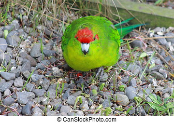 Red Crowned Parakeet - The New Zealand red-crowned parakeet...