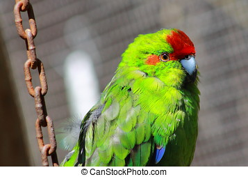 Red Crowned Parakeet Caged - The New Zealand red-crowned...