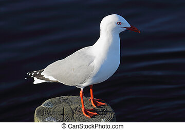 Red Billed Seagull - Red-billed Gull (Chroicocephalus...
