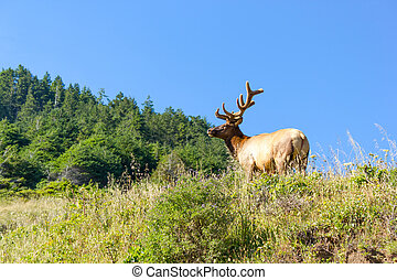 Bull Tule elk  in Siskiyou Wilderness, North California