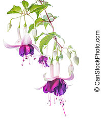 violet and pink fuchsia flower with bud isolated on white...