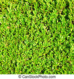 Green hedge bush texture background