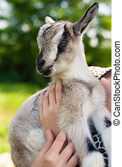 woman holding a little young goat - young woman holding a...