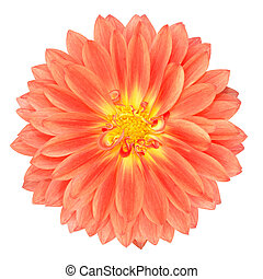 Red Pot Marigold Gerbera Flower Isolated on White - Light...