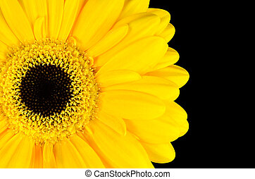 Yellow Marigold Flower Part Isolated on Black