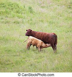 marrón, vaca, vaquita
