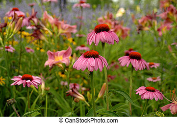 Pink Echinacea - Bright pink echinacea blooming in a summer...