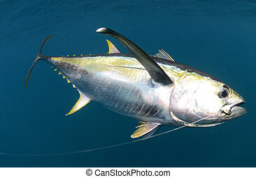 hooked yellow fin tuna fish underwater in ocean