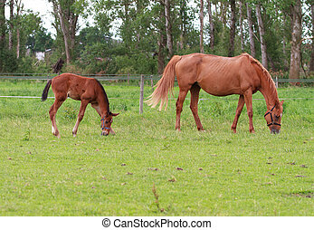 Baby horse and mare equine - A foal grazing in the field...